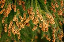 スギの花粉
